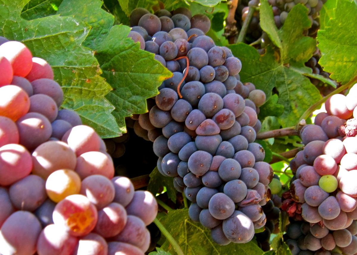 Diferencia entre Pinot gris y Pinot Grigio