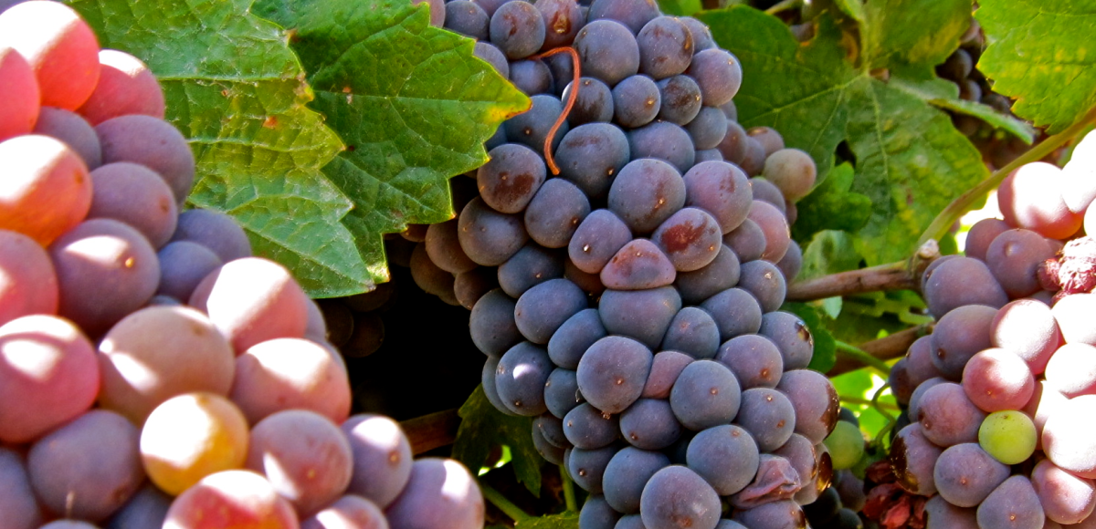 Pinot Grigio and Pinot Gris are they the same grape? | The wine blog