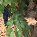 ¿Saben mejor los vinos elaborados de viñedos viejos?