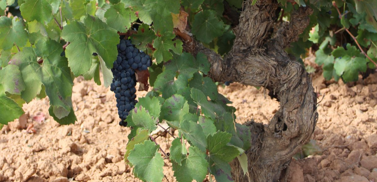Do Wines made from Old Vines Taste Better?