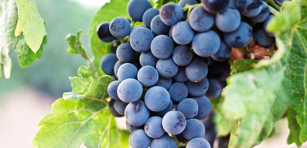 Garnacha ¿Es siempre la 'hermana pobre' de la uva?