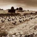 Jumilla: el edén de viñas viejas que derrotaron a la filoxera