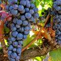 The International Success of Tempranillo